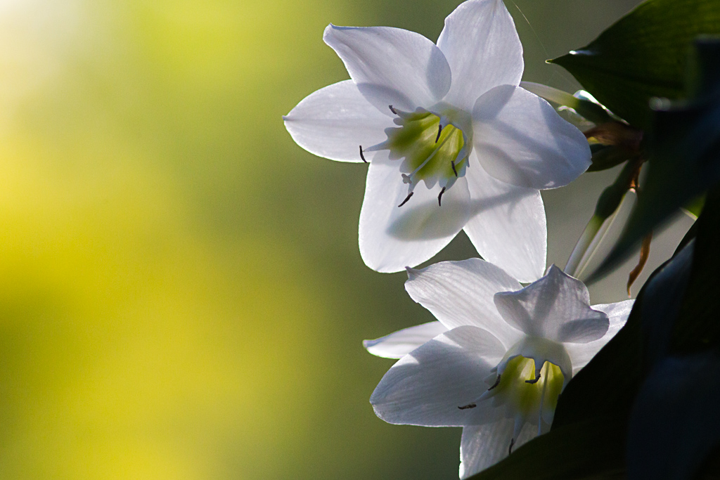 A backlit whiteflower - unknown species