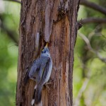A Noisy Minor looking under bark