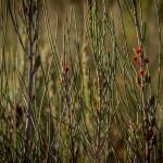 Allocasuarina distyla flowers