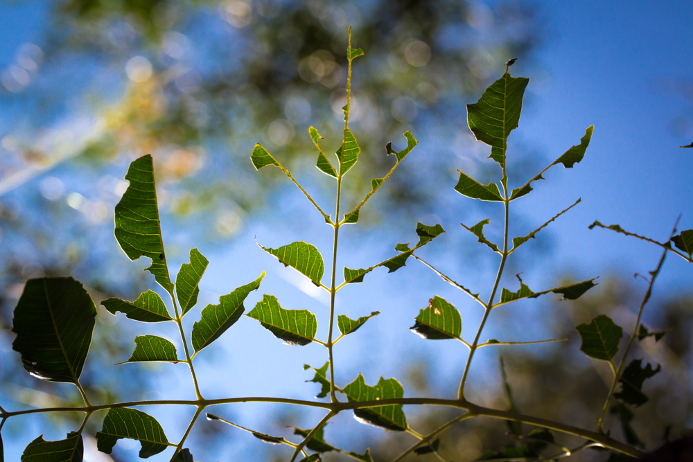 Leaves of the tree showing caterpillar damage