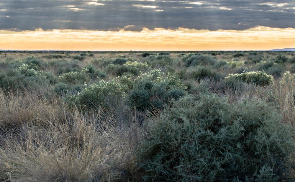 Maireana bush