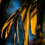 Callistemon leaves