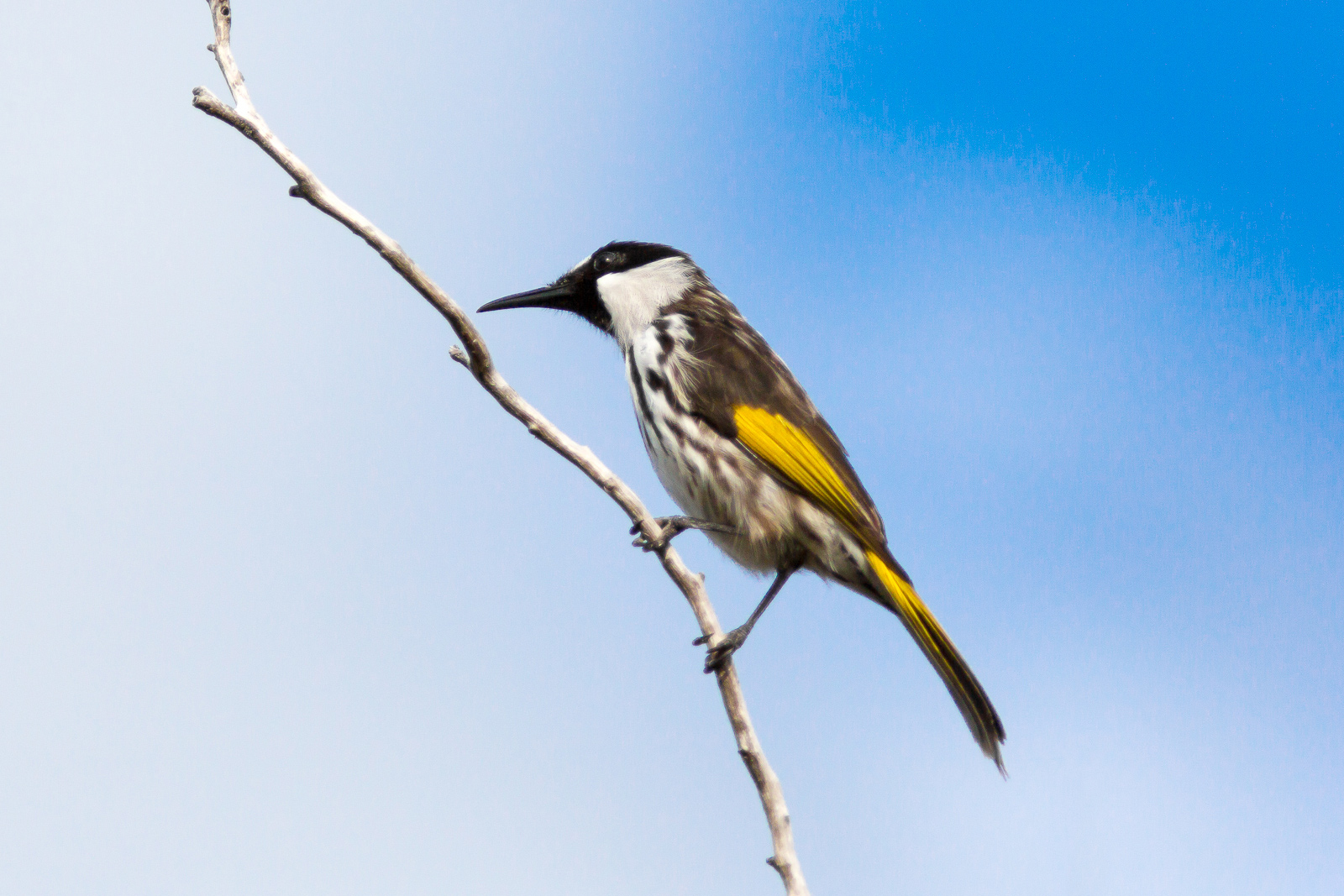 White-Cheeked Honeyeater on perch