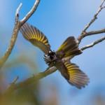 Photographing birds – White-cheeked Honeyeater