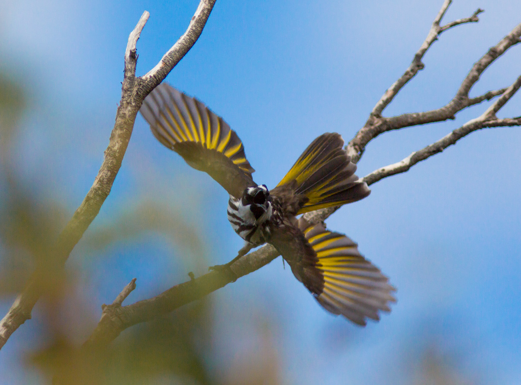 White-Cheeked honeyeater begins flight