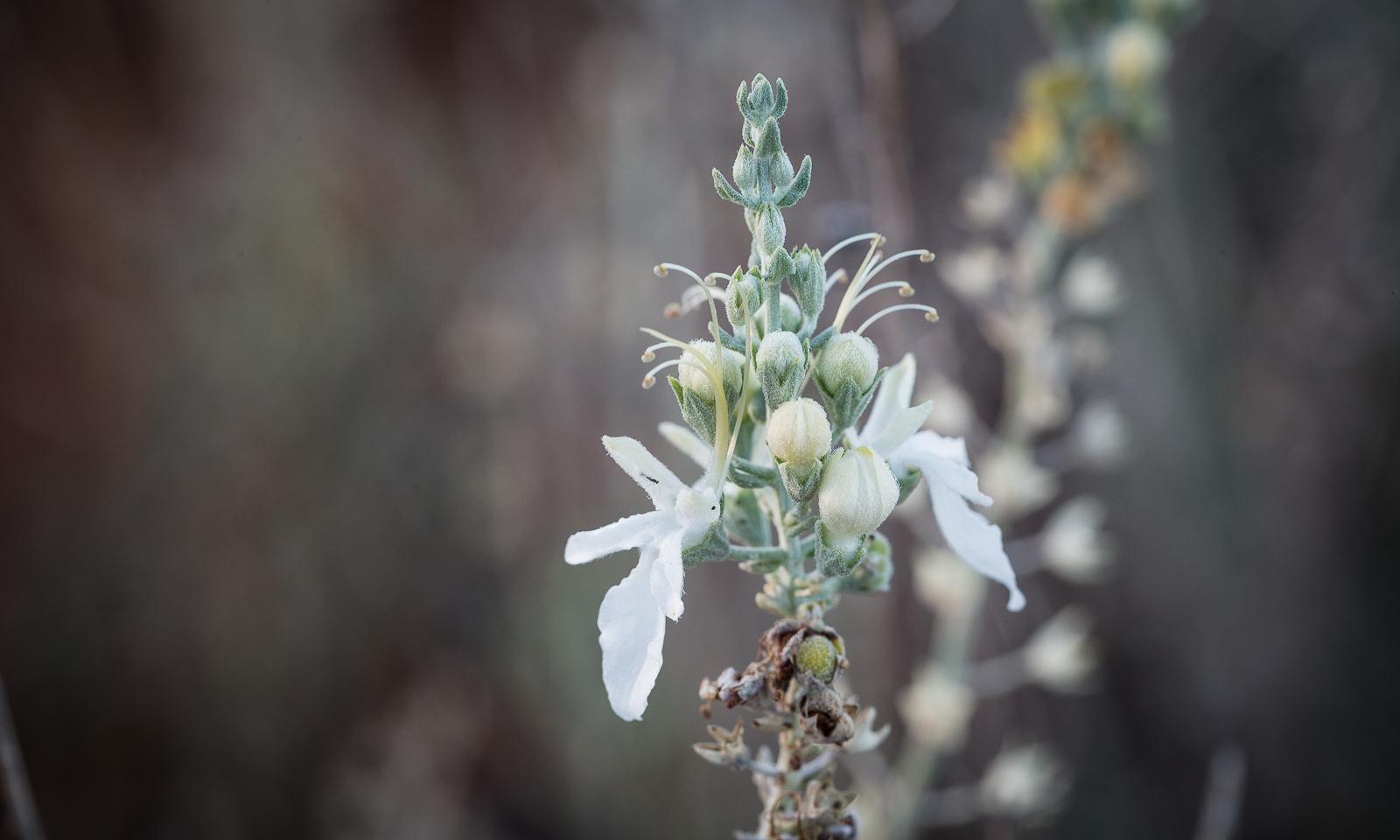 Teucrium albicaule cccurs in arid chenopod grasslands