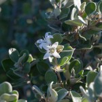 Getting to know plant families, Rutaceae