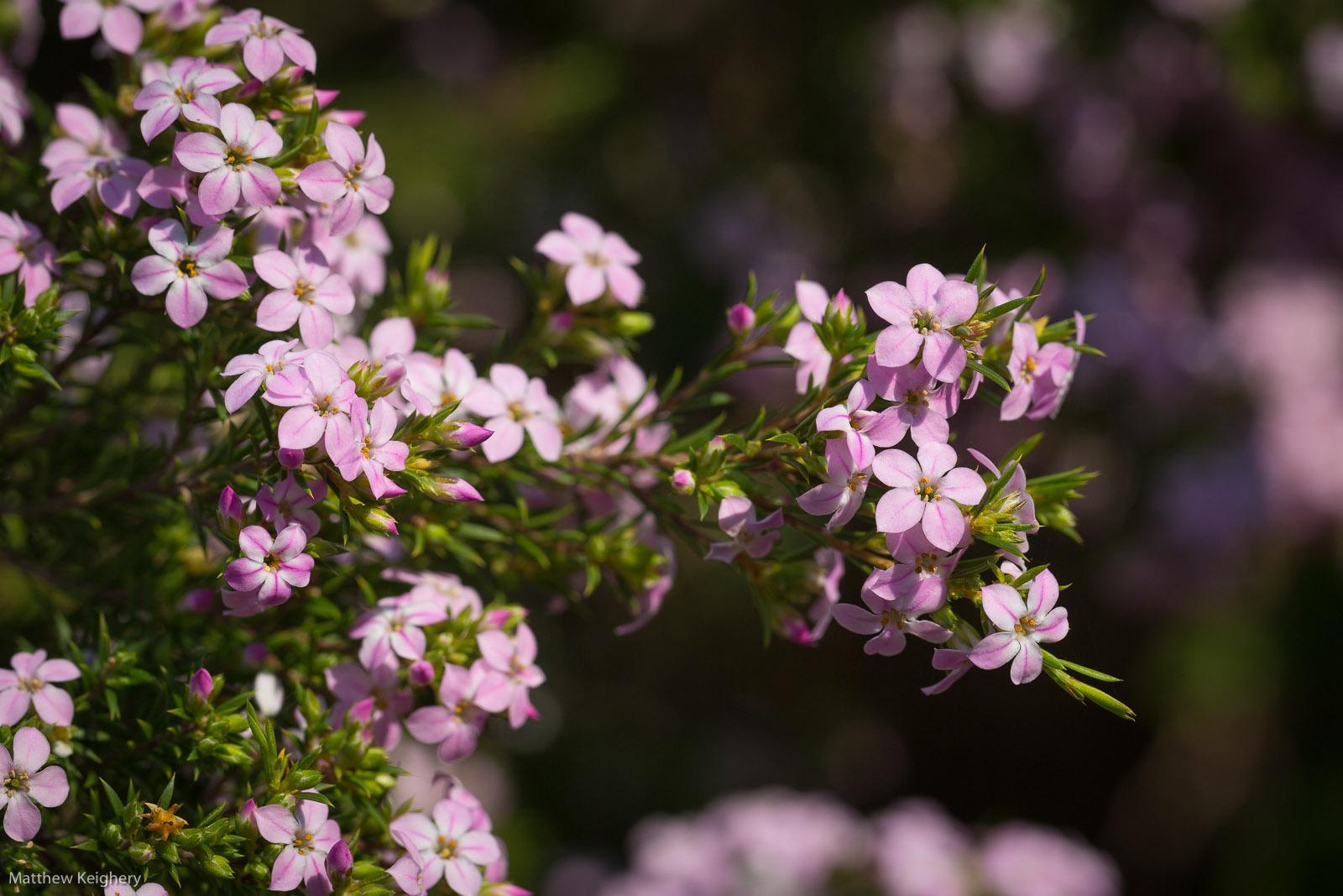 Rutaceae-4582