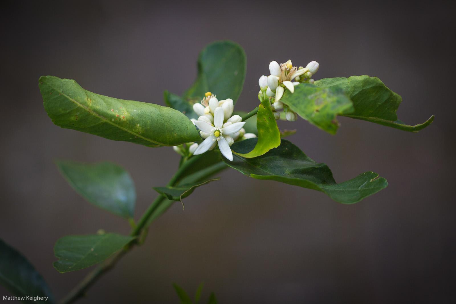 Limes, Citrus aurantifolia