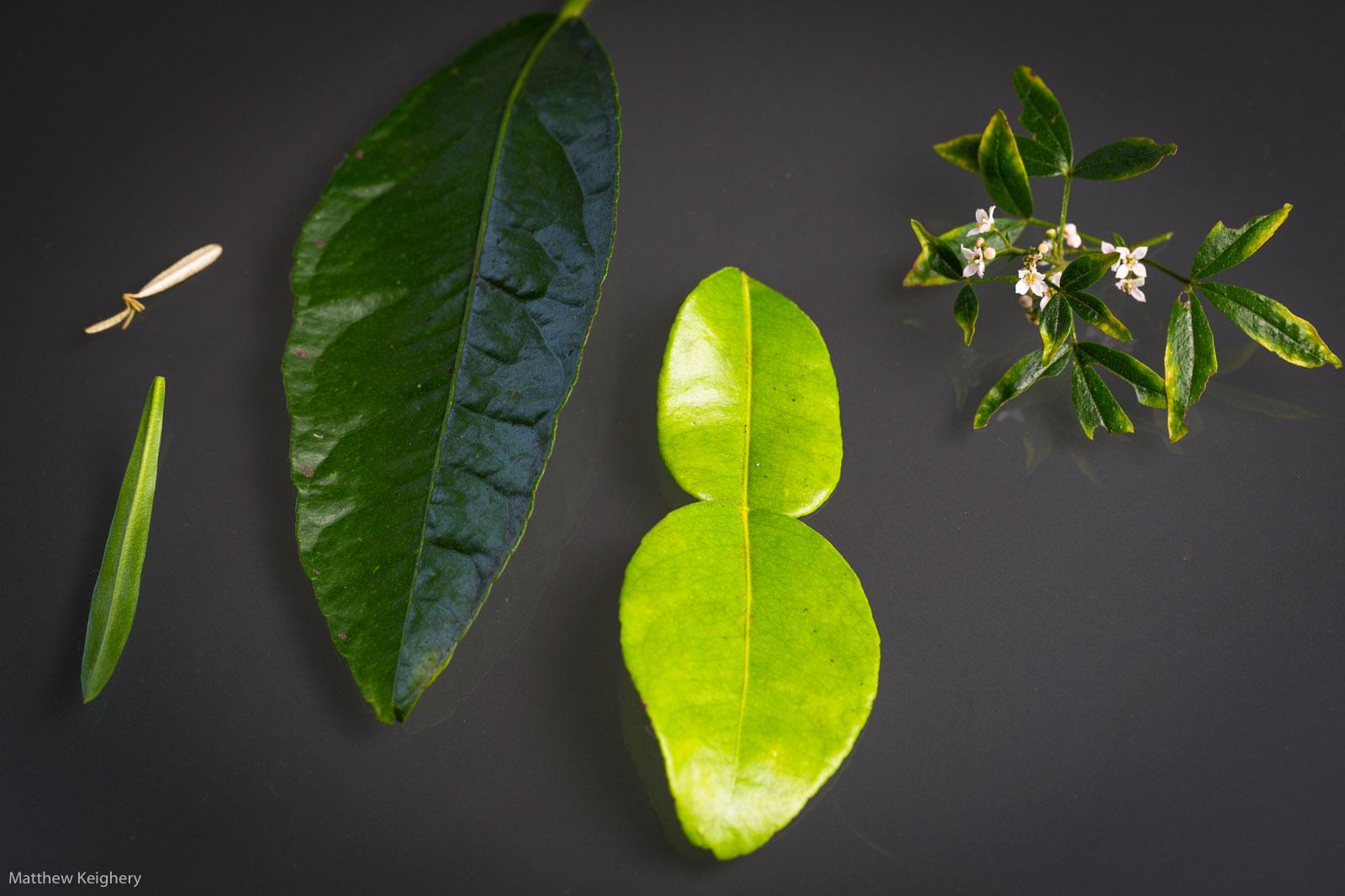 Rutaceae-4713