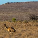 Emus (Dromaius novaehollandiae)