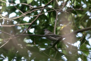 the Golden Whistler in the tangle of branches